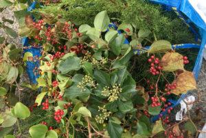サンキライの収穫