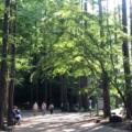 生田緑地のメタセコイア林