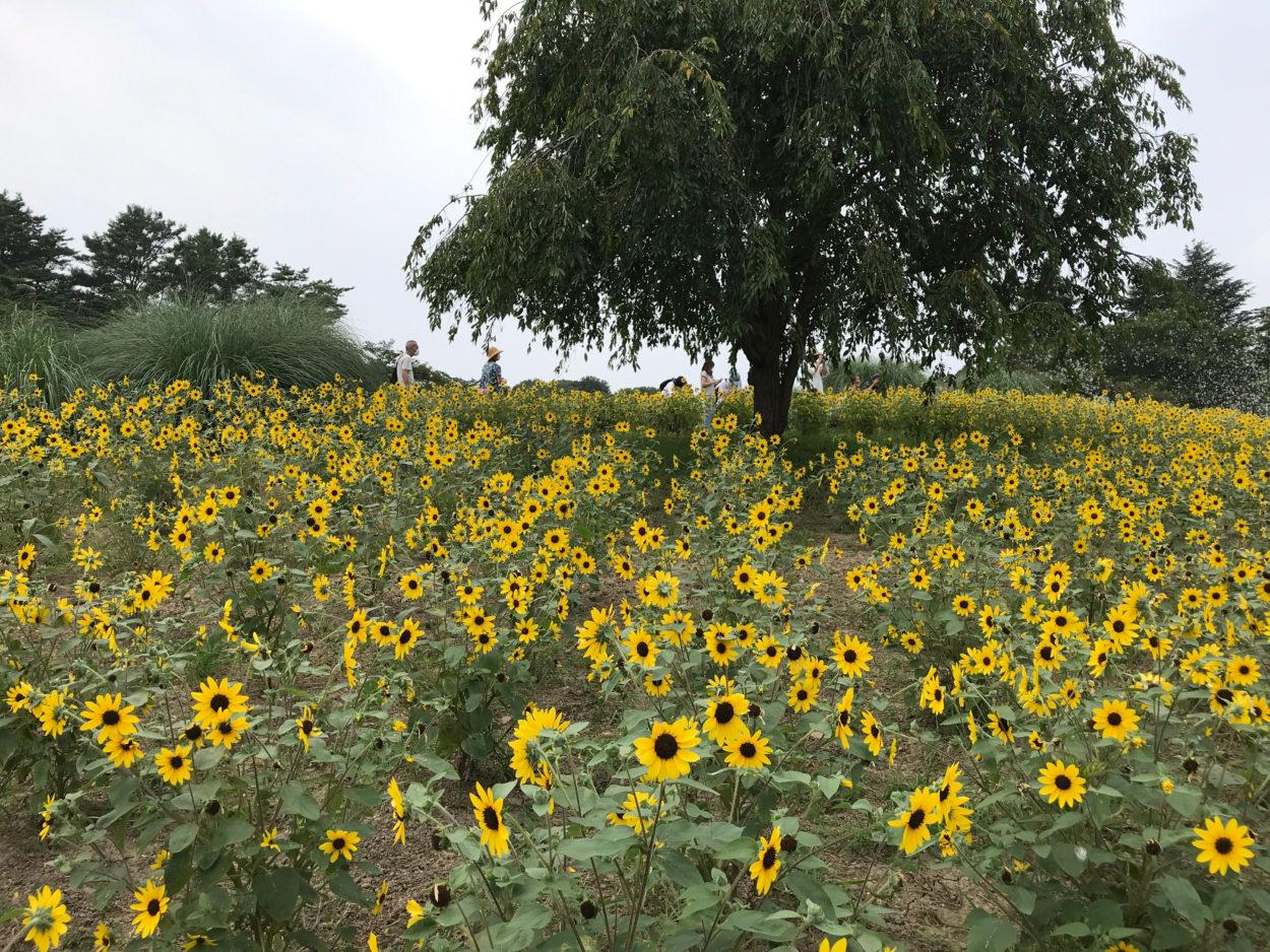 昭和記念公園ハーブの丘 ひまわり