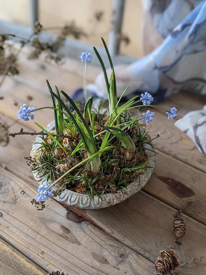ムスカリの球根鉢植え