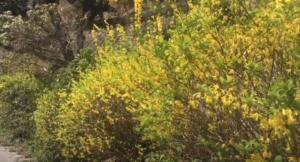 生田緑地のレンギョウ