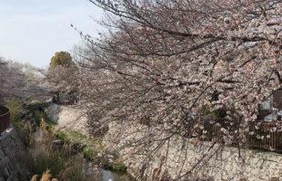ニケ領用水の桜