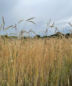 ライ麦を畑で収穫する